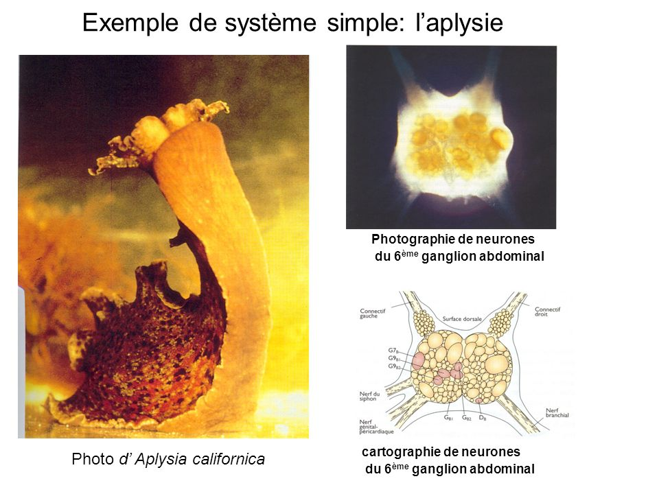 Exemple de système simple: laplysie Photo d Aplysia californica Photographie de neurones du 6 ème ganglion abdominal cartographie de neurones du 6 ème