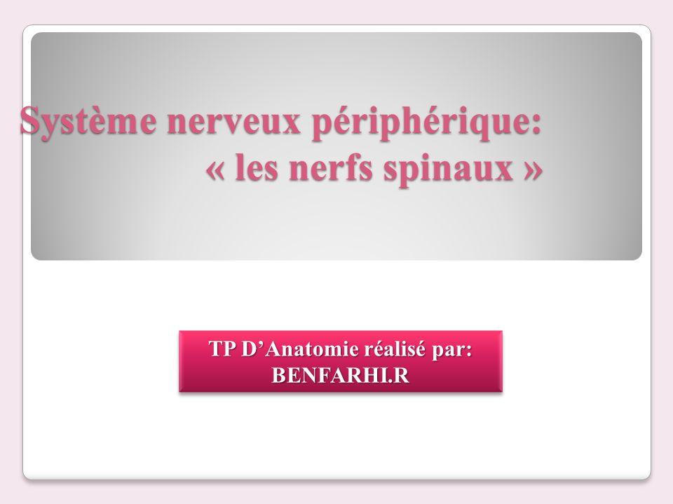 Système nerveux périphérique: « les nerfs spinaux » TP DAnatomie réalisé par: BENFARHI.R BENFARHI.R