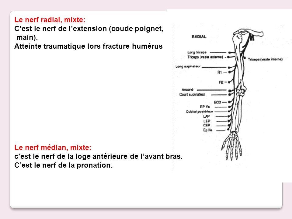 Le nerf radial, mixte: Cest le nerf de lextension (coude poignet, main). Atteinte traumatique lors fracture humérus Le nerf médian, mixte: cest le ner