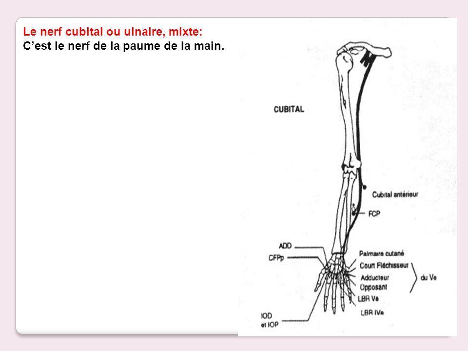 Le nerf cubital ou ulnaire, mixte: Cest le nerf de la paume de la main.