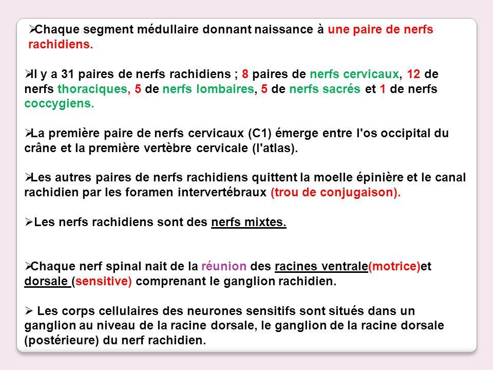Il y a 31 paires de nerfs rachidiens ; 8 paires de nerfs cervicaux, 12 de nerfs thoraciques, 5 de nerfs lombaires, 5 de nerfs sacrés et 1 de nerfs coc