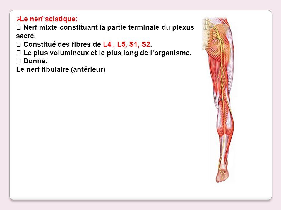 Le nerf sciatique: Nerf mixte constituant la partie terminale du plexus sacré. Constitué des fibres de L4, L5, S1, S2. Le plus volumineux et le plus l