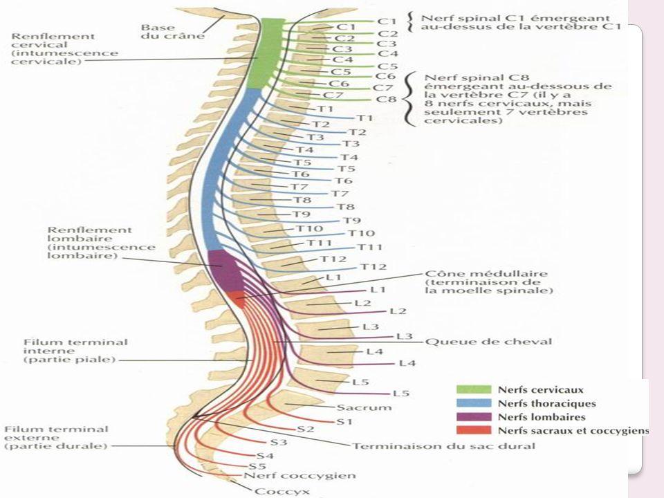 Le nerf ilio-hypogastrique: est de racine L1.