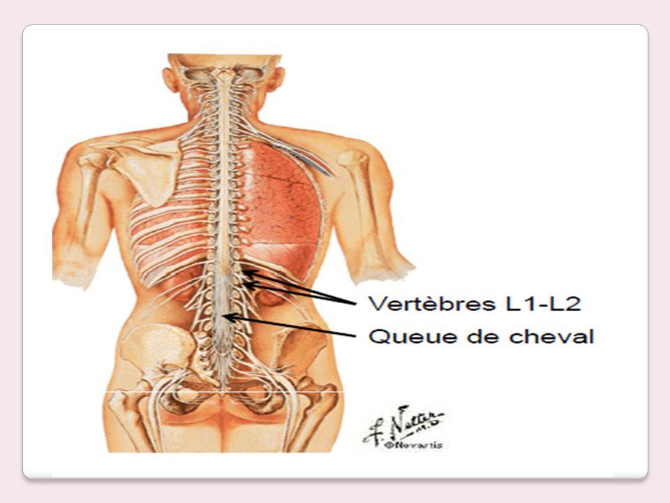 Les branches ventrales de différents nerfs rachidiens se combinent puis se ramifient à nouveau pour former des réseaux appelés plexus.