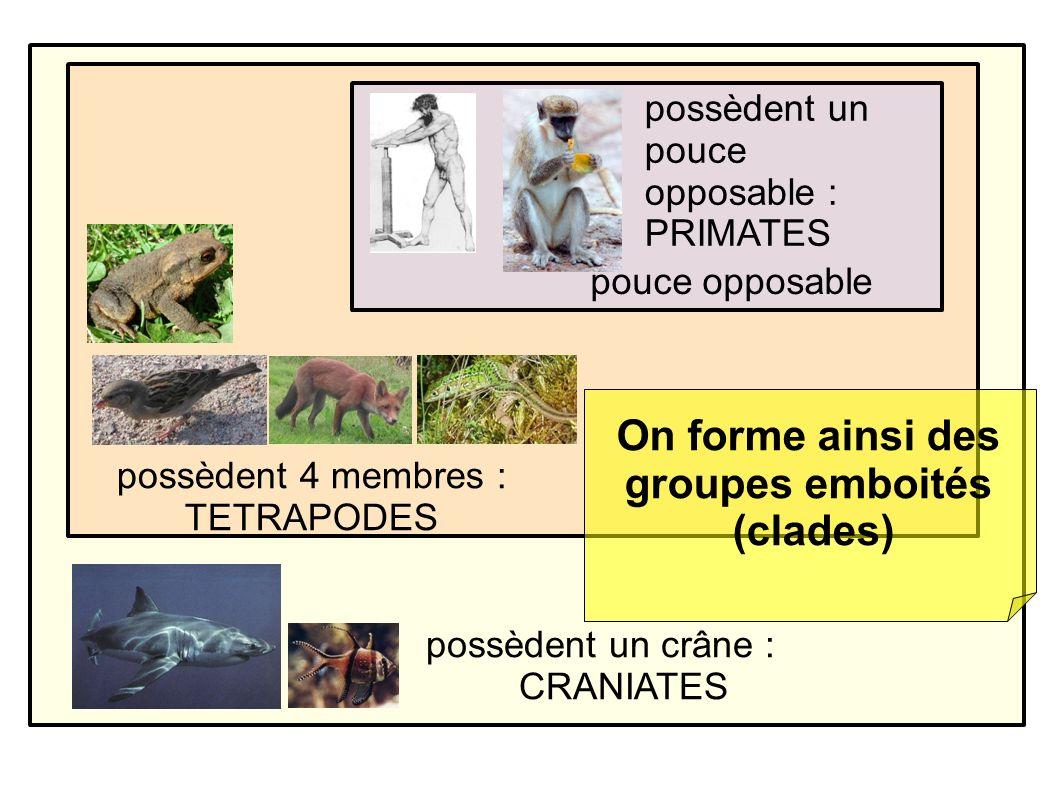 possèdent un crâne : CRANIATES possèdent 4 membres : TETRAPODES possèdent un pouce opposable : PRIMATES pouce opposable On forme ainsi des groupes emboités (clades)