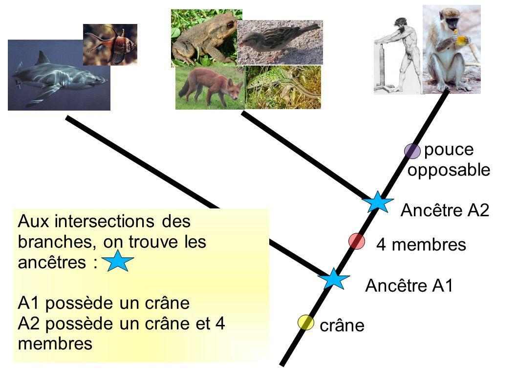 pouce opposable Ancêtre A2 crâne 4 membres Ancêtre A1 Aux intersections des branches, on trouve les ancêtres : A1 possède un crâne A2 possède un crâne et 4 membres