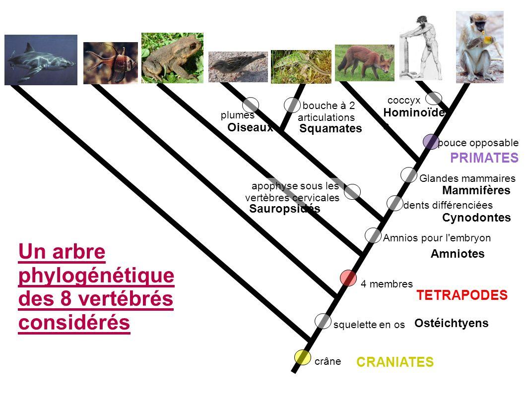pouce opposable crâne 4 membres squelette en os Amnios pour l embryon bouche à 2 articulations dents différenciées plumes apophyse sous les vertèbres cervicales Glandes mammaires coccyx Un arbre phylogénétique des 8 vertébrés considérés PRIMATES TETRAPODES CRANIATES Ostéichtyens Amniotes Cynodontes Mammifères Sauropsidés Oiseaux Squamates Hominoïde s