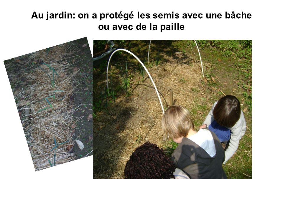 Au jardin: on a protégé les semis avec une bâche ou avec de la paille