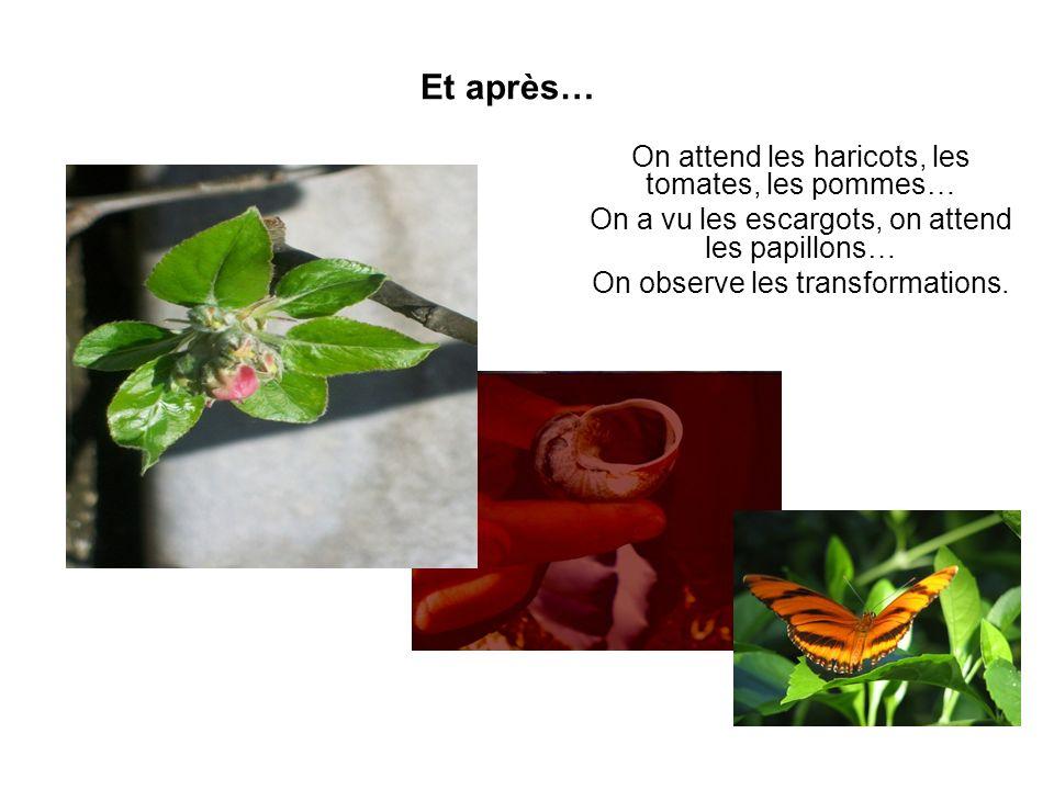 Et après… On attend les haricots, les tomates, les pommes… On a vu les escargots, on attend les papillons… On observe les transformations.