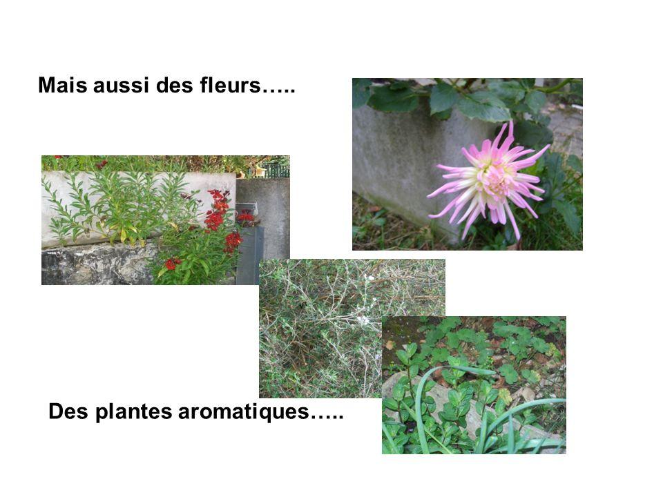 Des plantes aromatiques….. Mais aussi des fleurs…..