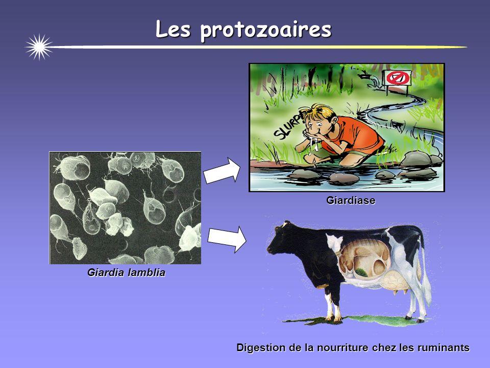 Les protozoaires Giardia lamblia Digestion de la nourriture chez les ruminants Giardiase