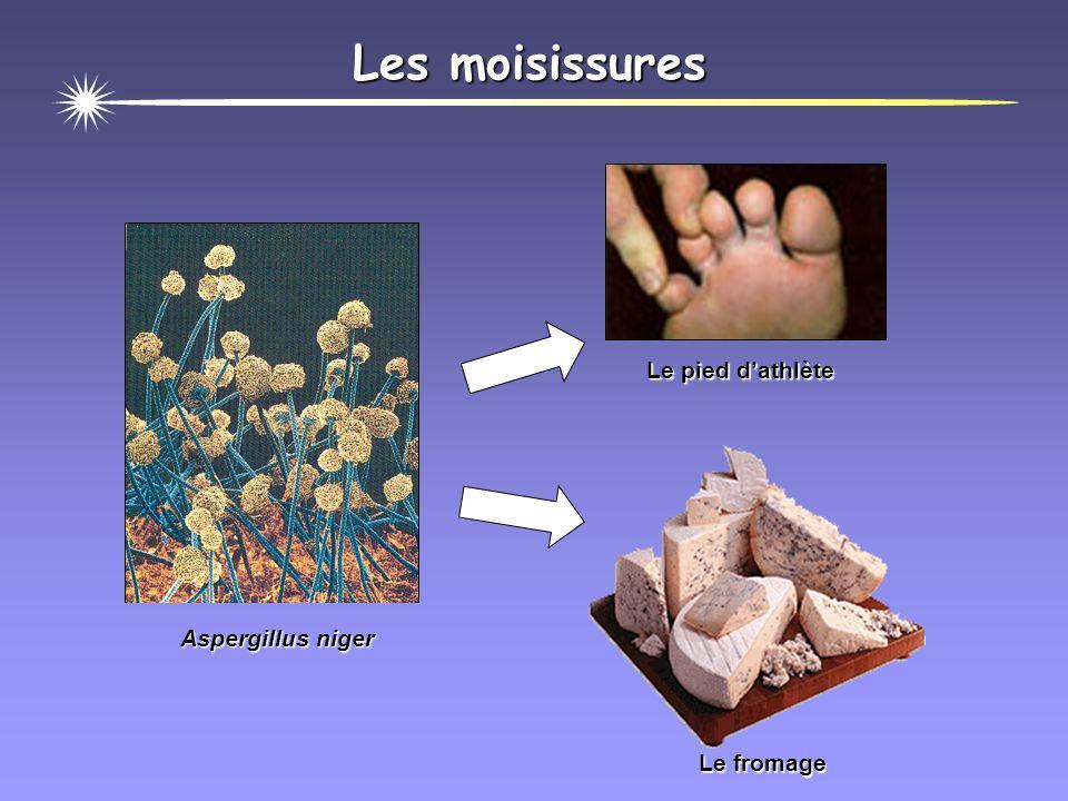 Les moisissures Les moisissures Les levures Les champignons microscopiques