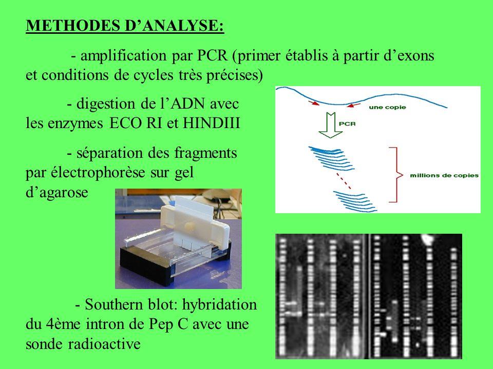 METHODES DANALYSE: - amplification par PCR (primer établis à partir dexons et conditions de cycles très précises) - digestion de lADN avec les enzymes ECO RI et HINDIII - séparation des fragments par électrophorèse sur gel dagarose - Southern blot: hybridation du 4ème intron de Pep C avec une sonde radioactive