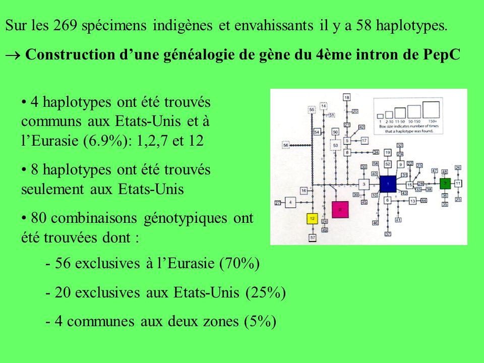 Sur les 269 spécimens indigènes et envahissants il y a 58 haplotypes. Construction dune généalogie de gène du 4ème intron de PepC 4 haplotypes ont été