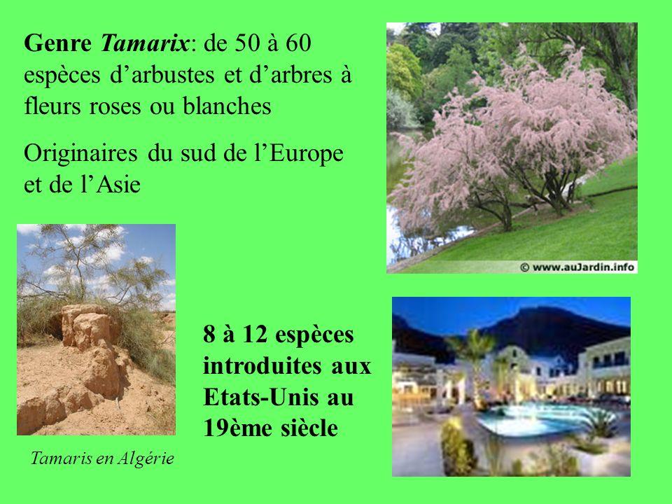 Genre Tamarix: de 50 à 60 espèces darbustes et darbres à fleurs roses ou blanches Originaires du sud de lEurope et de lAsie Tamaris en Algérie 8 à 12 espèces introduites aux Etats-Unis au 19ème siècle