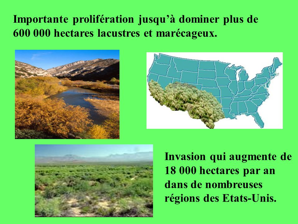 Importante prolifération jusquà dominer plus de 600 000 hectares lacustres et marécageux. Invasion qui augmente de 18 000 hectares par an dans de nomb
