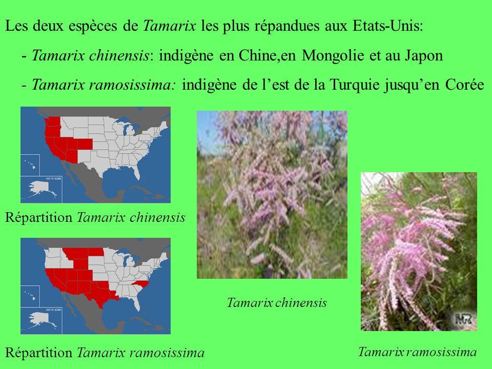 Les deux espèces de Tamarix les plus répandues aux Etats-Unis: - Tamarix chinensis: indigène en Chine,en Mongolie et au Japon - Tamarix ramosissima: i