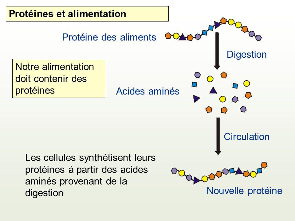Protéine des aliments Digestion Acides aminés Circulation Les cellules synthétisent leurs protéines à partir des acides aminés provenant de la digestion Notre alimentation doit contenir des protéines Nouvelle protéine Protéines et alimentation