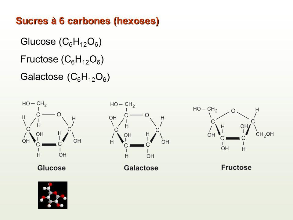 Sucres à 6 carbones (hexoses) Glucose (C 6 H 12 O 6 ) Fructose (C 6 H 12 O 6 ) Galactose (C 6 H 12 O 6 )