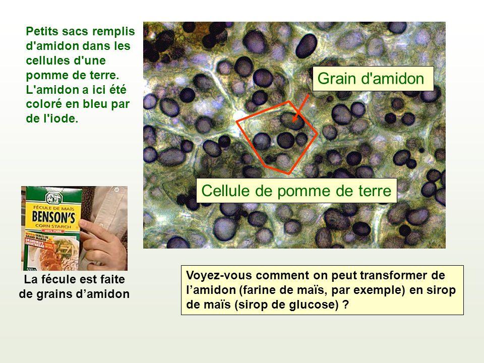 Petits sacs remplis d'amidon dans les cellules d'une pomme de terre. L'amidon a ici été coloré en bleu par de l'iode. Cellule de pomme de terre Grain