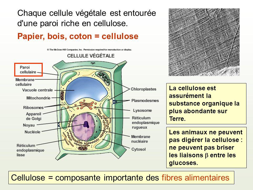 Papier, bois, coton = cellulose Chaque cellule végétale est entourée d'une paroi riche en cellulose. Les animaux ne peuvent pas digérer la cellulose :