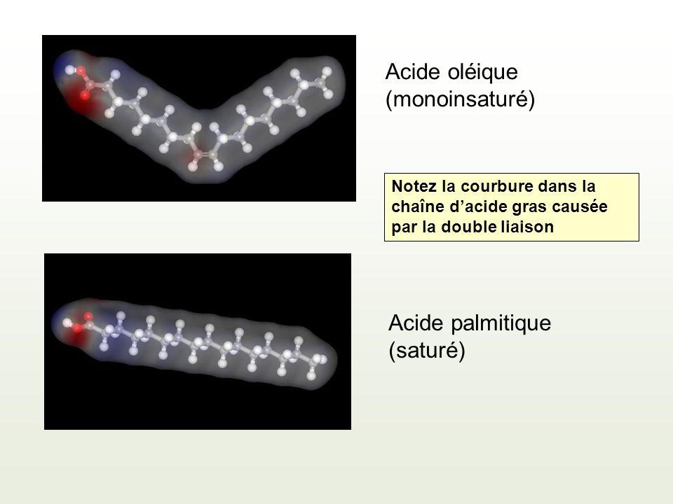 Acide oléique (monoinsaturé) Acide palmitique (saturé) Notez la courbure dans la chaîne dacide gras causée par la double liaison