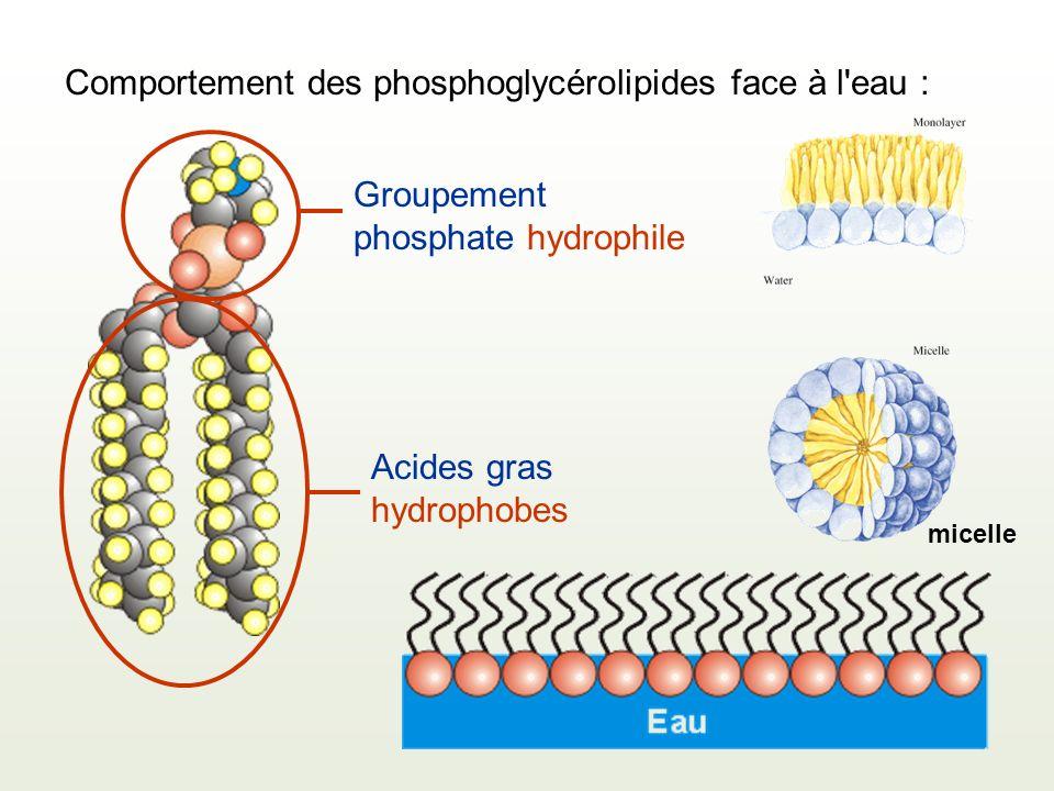 Comportement des phosphoglycérolipides face à l'eau : Groupement phosphate hydrophile Acides gras hydrophobes micelle