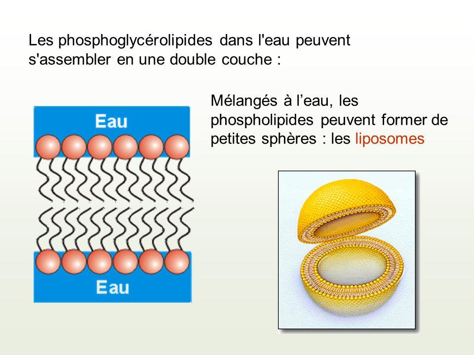 Les phosphoglycérolipides dans l eau peuvent s assembler en une double couche : Mélangés à leau, les phospholipides peuvent former de petites sphères : les liposomes