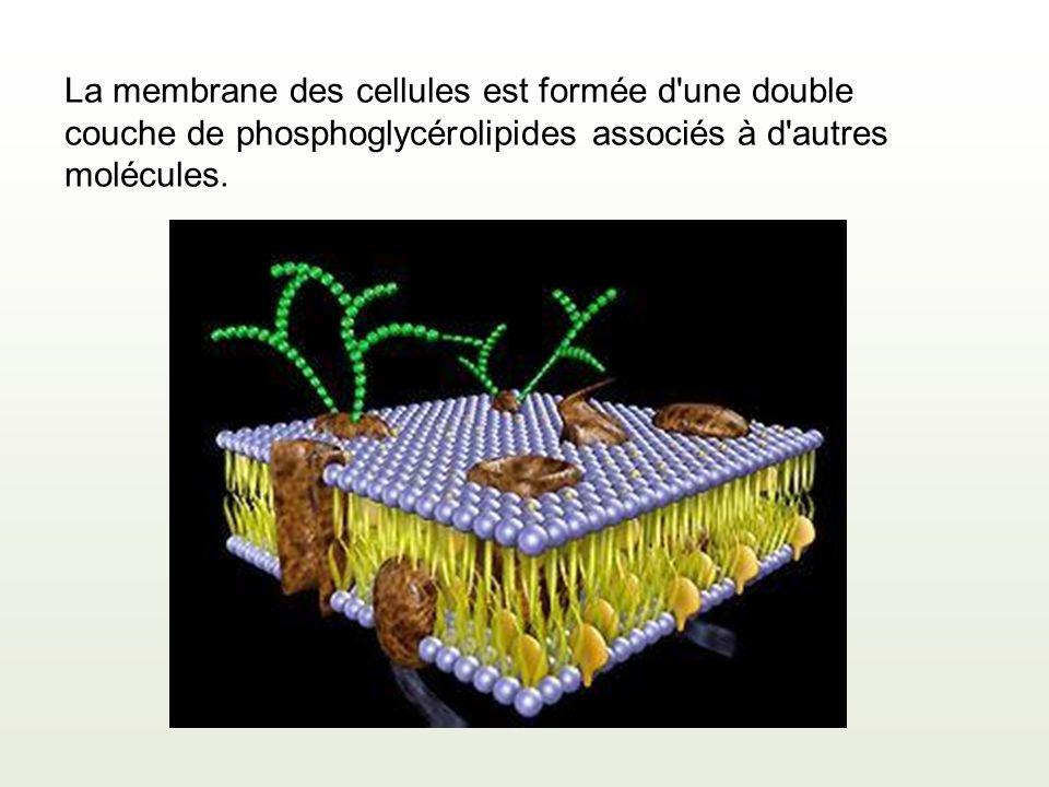 La membrane des cellules est formée d'une double couche de phosphoglycérolipides associés à d'autres molécules.