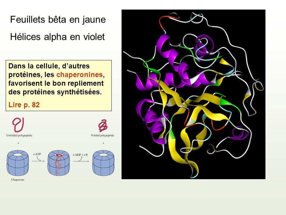 Feuillets bêta en jaune Hélices alpha en violet Dans la cellule, dautres protéines, les chaperonines, favorisent le bon repliement des protéines synth