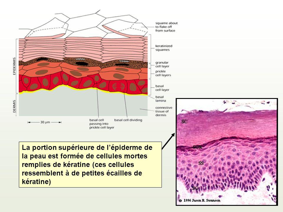 La portion supérieure de lépiderme de la peau est formée de cellules mortes remplies de kératine (ces cellules ressemblent à de petites écailles de kératine)