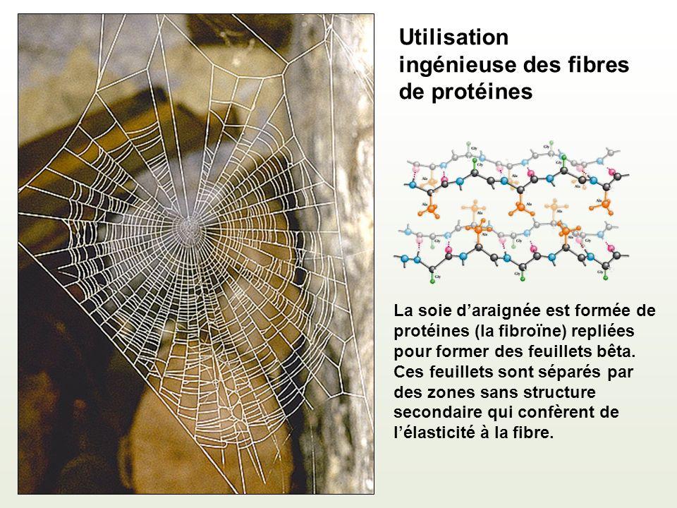 Utilisation ingénieuse des fibres de protéines La soie daraignée est formée de protéines (la fibroïne) repliées pour former des feuillets bêta.