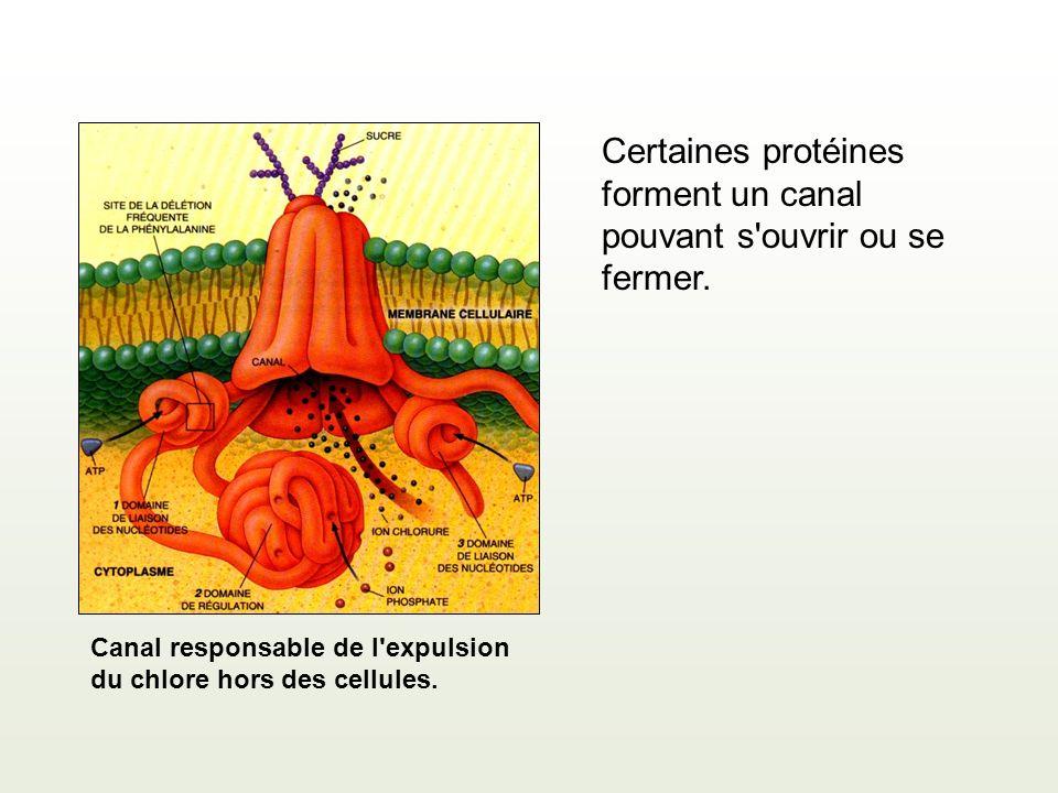 Canal responsable de l'expulsion du chlore hors des cellules. Certaines protéines forment un canal pouvant s'ouvrir ou se fermer.