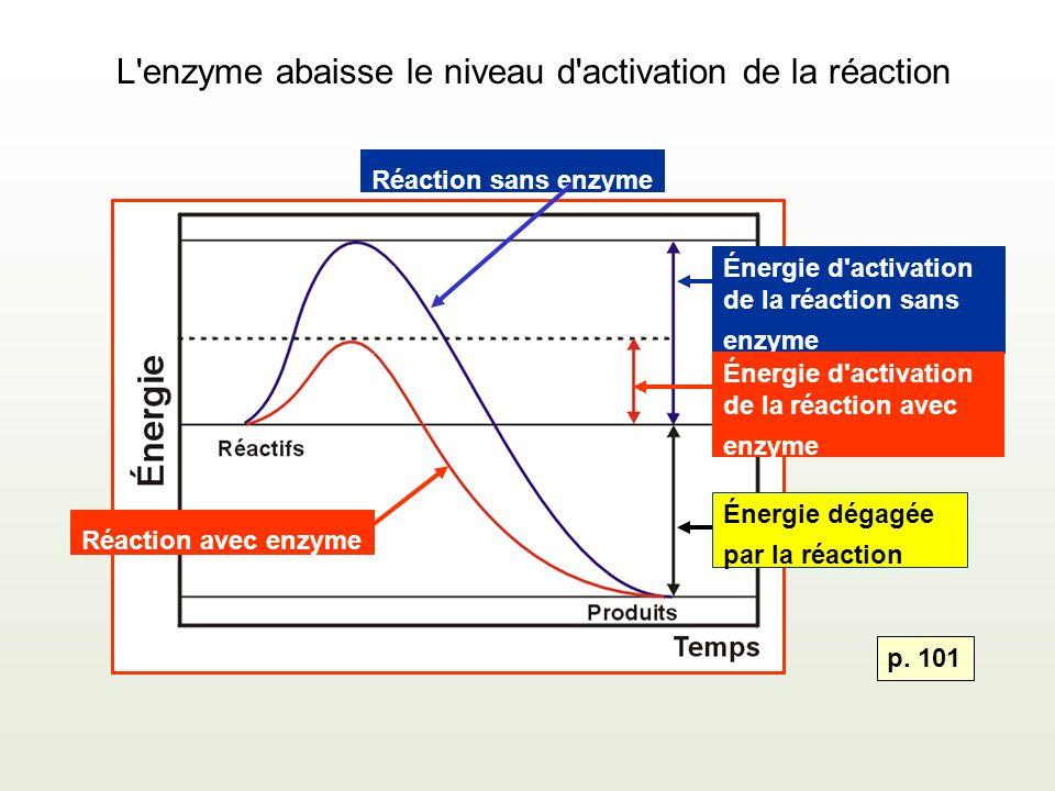 L enzyme abaisse le niveau d activation de la réaction Réaction avec enzyme Énergie d activation de la réaction sans enzyme Énergie dégagée par la réaction Réaction sans enzyme Énergie d activation de la réaction avec enzyme p.