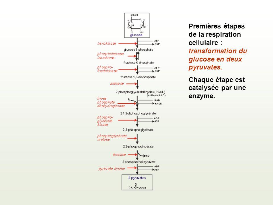 Premières étapes de la respiration cellulaire : transformation du glucose en deux pyruvates. Chaque étape est catalysée par une enzyme.