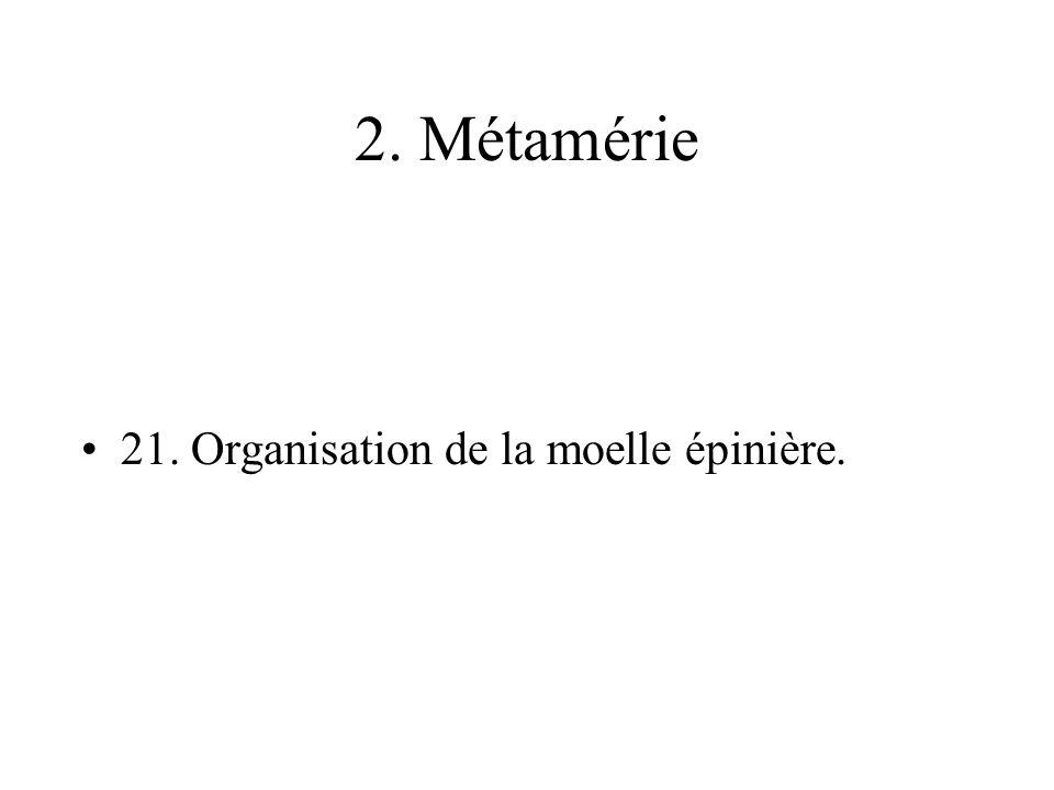 2. Métamérie 21. Organisation de la moelle épinière.