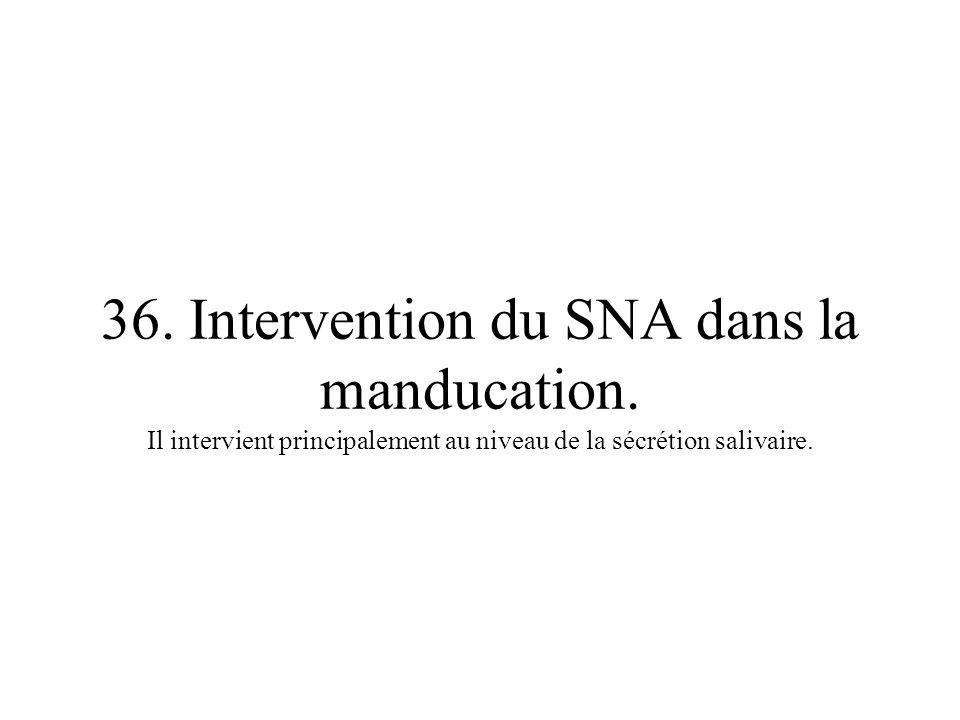 36. Intervention du SNA dans la manducation. Il intervient principalement au niveau de la sécrétion salivaire.