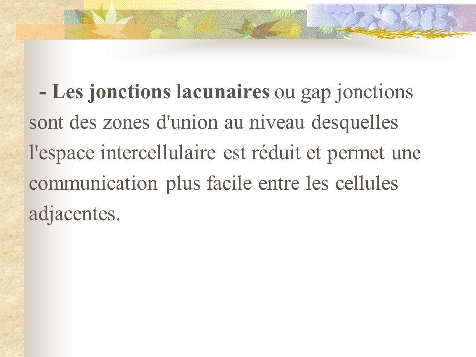 - Les jonctions lacunaires ou gap jonctions sont des zones d'union au niveau desquelles l'espace intercellulaire est réduit et permet une communicatio