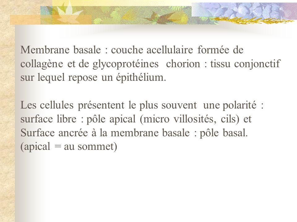 Membrane basale : couche acellulaire formée de collagène et de glycoprotéines chorion : tissu conjonctif sur lequel repose un épithélium. Les cellules