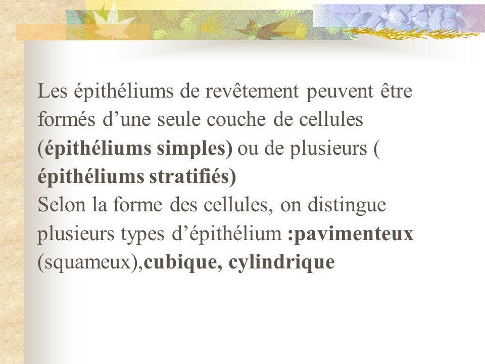 Les épithéliums de revêtement peuvent être formés dune seule couche de cellules (épithéliums simples) ou de plusieurs ( épithéliums stratifiés) Selon