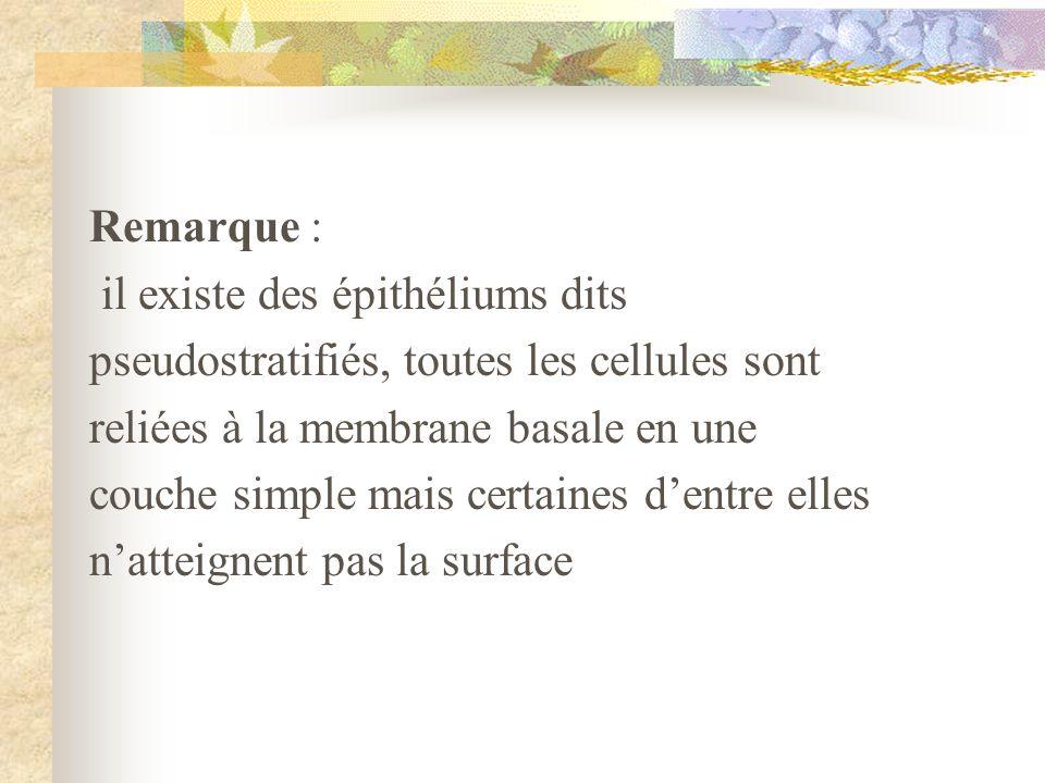Remarque : il existe des épithéliums dits pseudostratifiés, toutes les cellules sont reliées à la membrane basale en une couche simple mais certaines