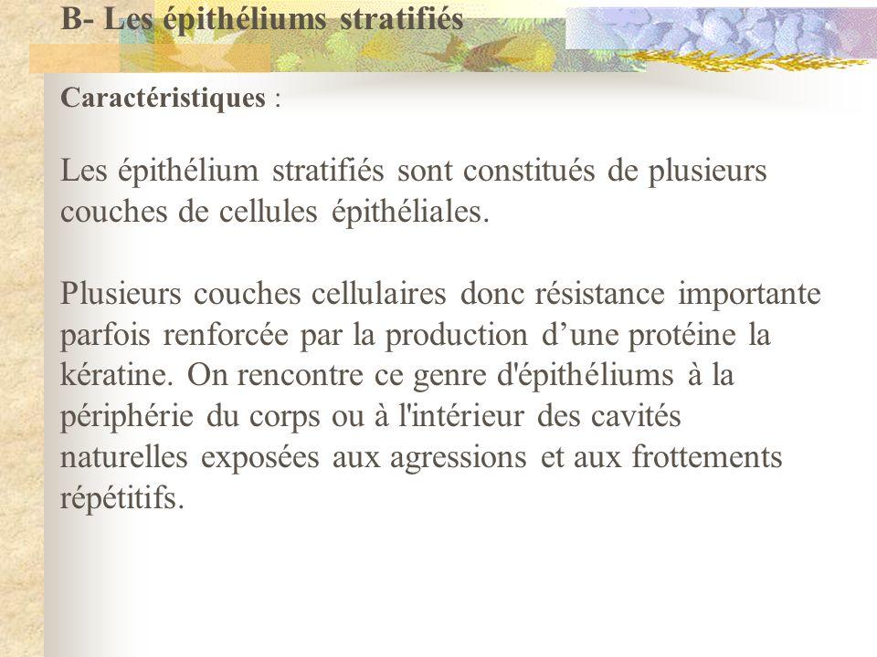 B- Les épithéliums stratifiés Caractéristiques : Les épithélium stratifiés sont constitués de plusieurs couches de cellules épithéliales. Plusieurs co