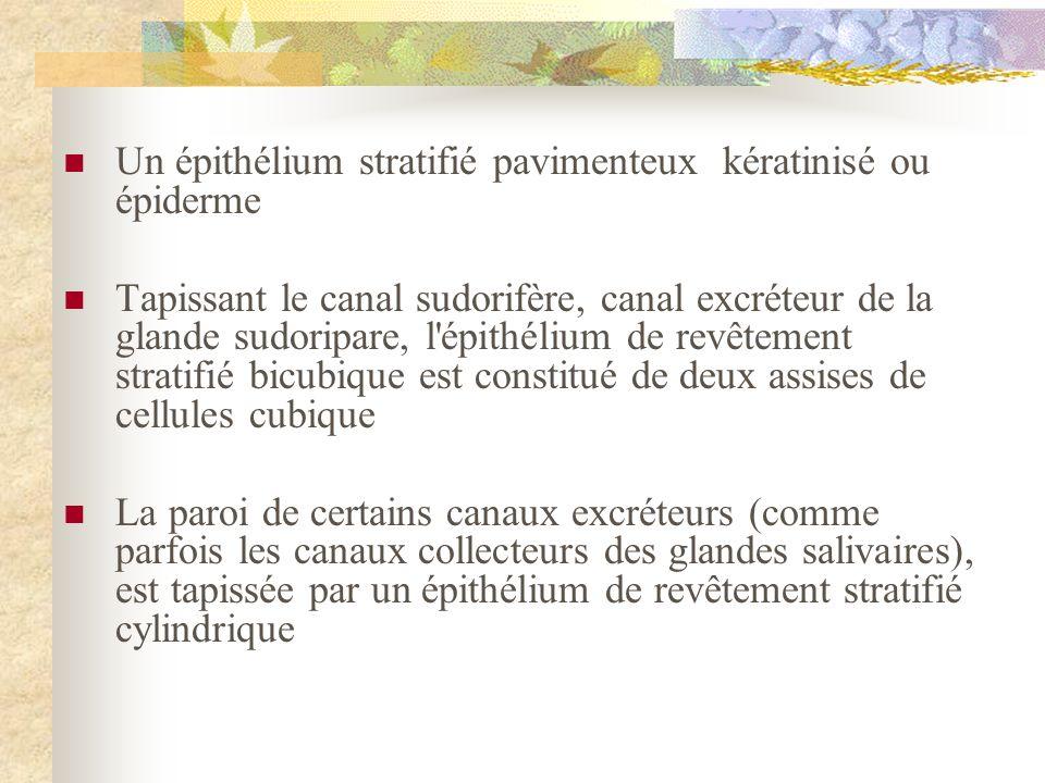 Un épithélium stratifié pavimenteux kératinisé ou épiderme Tapissant le canal sudorifère, canal excréteur de la glande sudoripare, l'épithélium de rev