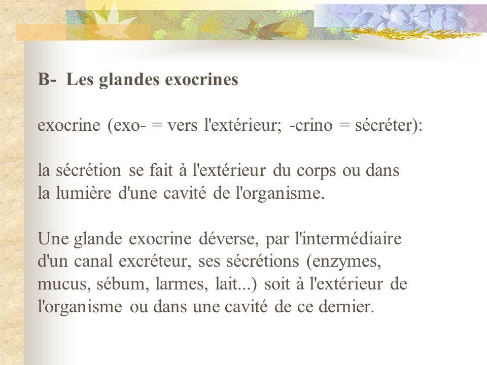 B- Les glandes exocrines exocrine (exo- = vers l'extérieur; -crino = sécréter): la sécrétion se fait à l'extérieur du corps ou dans la lumière d'une c