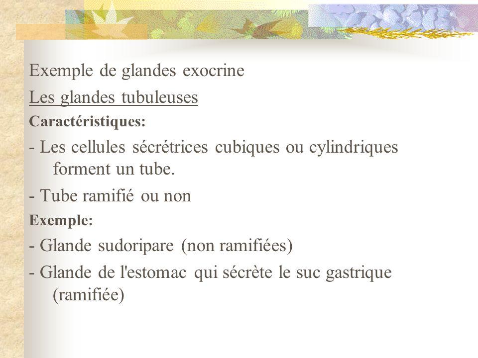 Exemple de glandes exocrine Les glandes tubuleuses Caractéristiques: - Les cellules sécrétrices cubiques ou cylindriques forment un tube. - Tube ramif