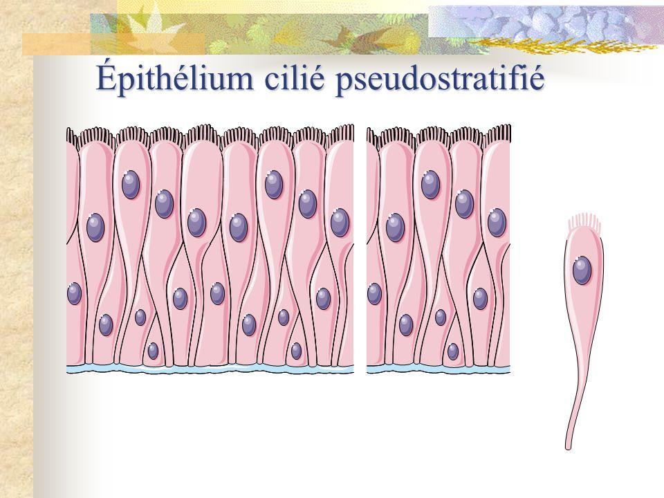 Épithélium cilié pseudostratifié