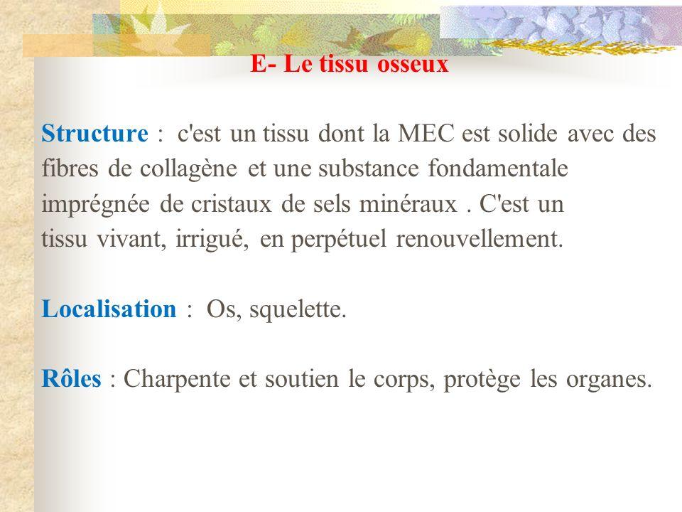 E- Le tissu osseux Structure : c'est un tissu dont la MEC est solide avec des fibres de collagène et une substance fondamentale imprégnée de cristaux
