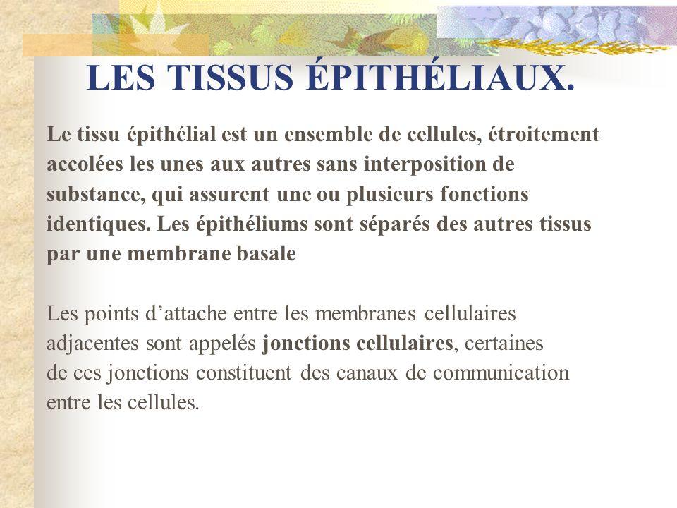 LES TISSUS ÉPITHÉLIAUX. Le tissu épithélial est un ensemble de cellules, étroitement accolées les unes aux autres sans interposition de substance, qui