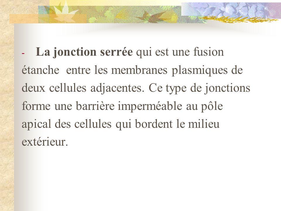 - La jonction serrée qui est une fusion étanche entre les membranes plasmiques de deux cellules adjacentes. Ce type de jonctions forme une barrière im