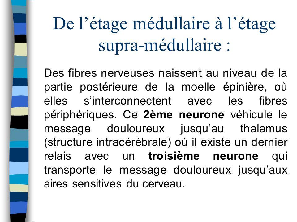De létage médullaire à létage supra-médullaire : Des fibres nerveuses naissent au niveau de la partie postérieure de la moelle épinière, où elles sint